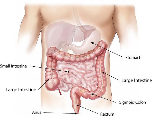 Drawing of the digestive system, including the stomach, small intestine, large intestine, sigmoid colon, rectum, and anus. Healing leaky gut involves the lining of the small intestine.