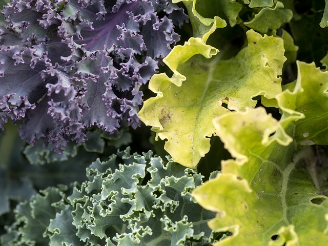 A photo of kale, which is a nutrient-dense food that is recommended on the autoimmune diet